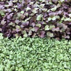 Micro Greens ( Pea, radish, cilantro and broccoli shoots)